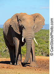 African elephant - Large African elephant bull (Loxodonta...