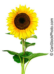 Yellow sunflower isolated on white background - Closeup view...