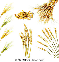 Golden wheat ears isolated on white background - Set of...