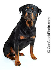 rottweiler - portrait of a purebred rottweiler on a white...