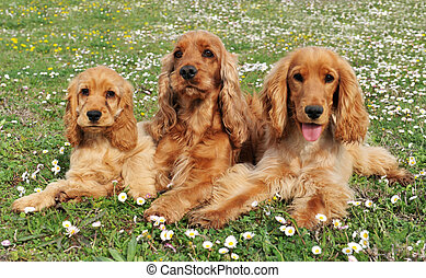family cocker - portrait of three purebred spaniel cocker in...