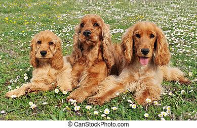 family cocker - portrait of three purebred spaniel cocker in...