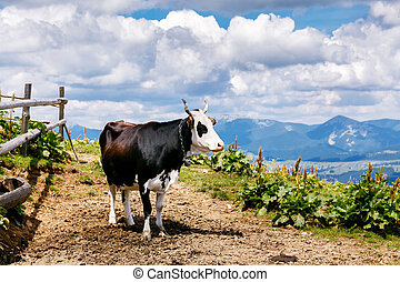 Cow on high mountain Carpatian meadow
