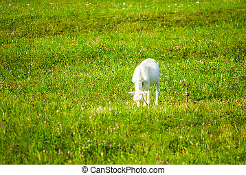 White goat grazes in green meadow on summer day