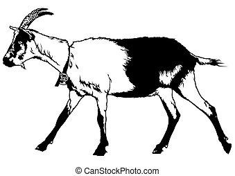 Goat from Profile View - Goat (Capra aegagrus hircus) -...
