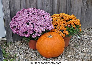 Mums and pumpkin - Elora