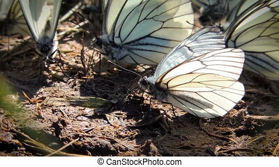 White butterfly on the ground - The accumulation of a large...