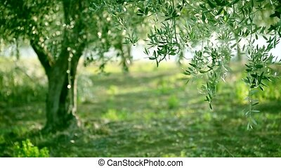 Olive tree leaves - Olive green tree growing in the garden,...