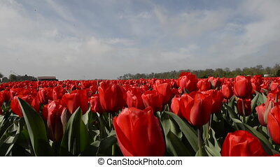 Dolly shot over Tulips, Holland - Dolly shot over Tulip...