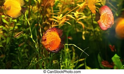amazon yellow discus - amazon discus fish in aquarium close...