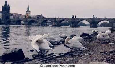 Swans in Prague - Swans near Charles Bridge in Prague,...