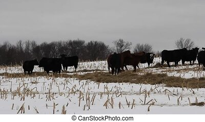 Black Angus Cattle and Horses - Black Angus cattle and...