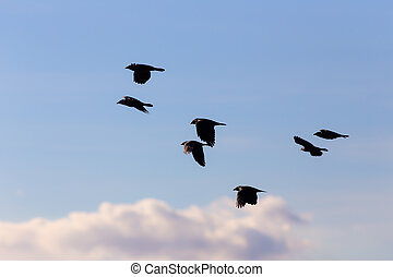 flock of jackdaws in flight