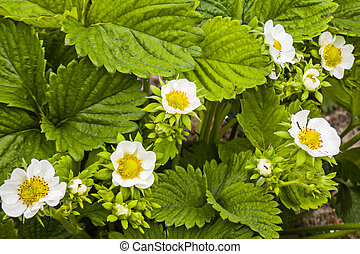 Blooming bush of strawberries