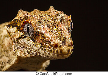 Gargoyle Gecko (Rhacodactylus aur