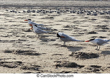 Flock of Caspian Tern Birds - Caspian Tern seabirds,...
