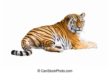 Siberian tiger cutout - Siberian tiger lying isolated on...