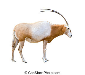 Scimitar Horned Oryx cutout - Scimitar Horned Oryx damma...