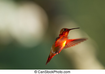 Rufous Hummingbird In Flight - A hummingbird with wings...