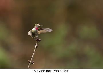 Annas Hummingbird In Flight - A hummingbird with wings...