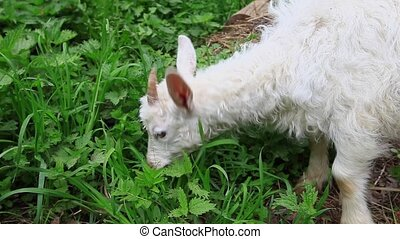 White goat eating grass