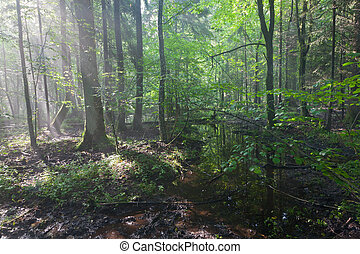 Summertime sunrise in wet stand of Bialowieza Forest -...
