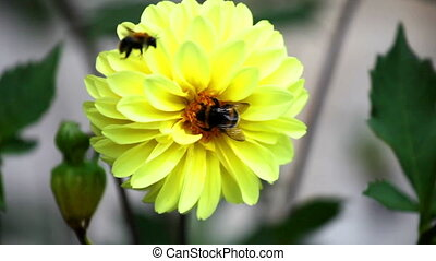 Bees on dahlia flower close up - Bright yellow dahlia and...