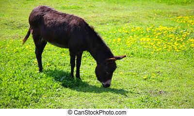 Brown donkey grazing in field - Small donkey, or ass,...