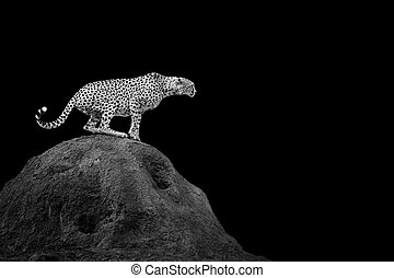 Cheetah on dark background Black and white image