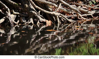 Tangled Creek Bank Roots Reflected - Tangled tree roots are...