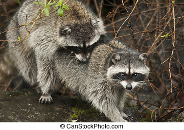 Raccoon multiplying vermin - Raccon caught in the act of...