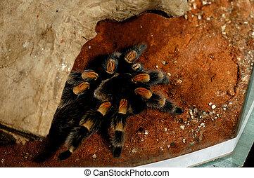 Brachypelma Smithi Mexican Redknee bird spider tarantula in...