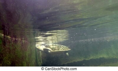 Sea turtle in aquarium - Sea turtle under water shot
