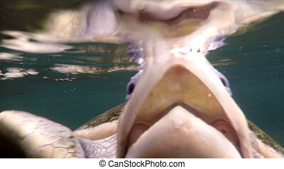 Sea turtle head look in camera - Close up underwater shot of...