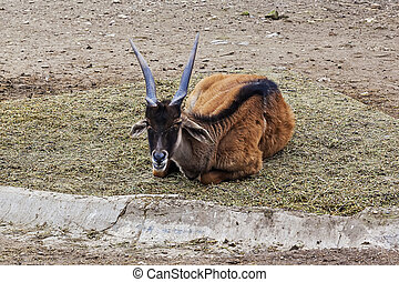 Antelope in the  ZOO