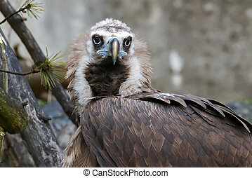 Cinereous vulture raptorial bird, black vulture, a large...