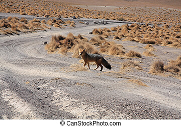 Fox in Bolivia  - Wild fox in Bolivian altiplano