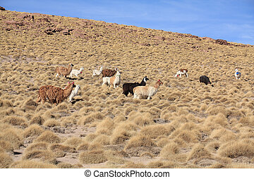 Llamas in Bolivian altiplano