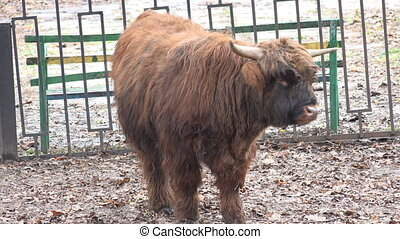 Brown Yak in a Zoo. Closeup - Brown Yak in a Zoo. Closeup....