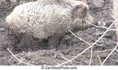 Big Pig in Absolute Mud. Closeup