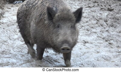 Big Pig in Absolute Mud. Closeup.