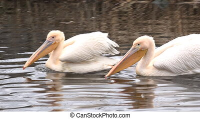 Great White Pelican (Pelecanus Onocrotalus) on the River....