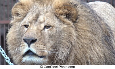 A Lion Watching Intently Closeup - A Lion Watching Intently...