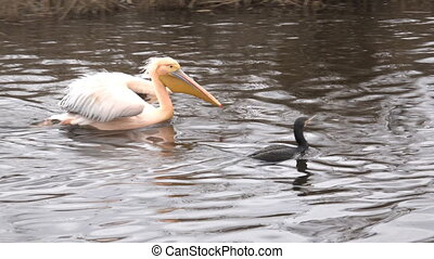 Great White Pelican Pelecanus Onocrotalus on the River...