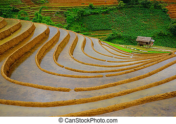 Rice fields on terrace in rainy season at Mu Cang Chai,...