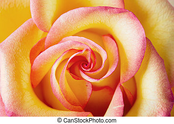 Yellow and pink delicate rose close up