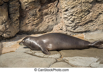 Hawaiian Monk Seal - Rare Hawaiian monk seal got out of the...