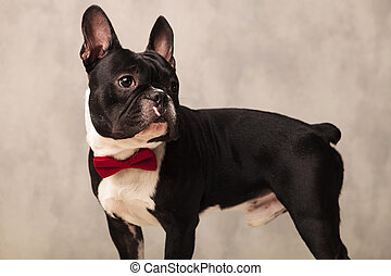 french bulldog puppy wearing a red bowtie while looking away...