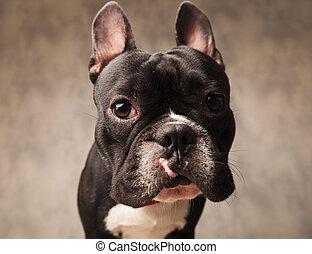 cute french bulldog puppy dog looking at the camera - close...