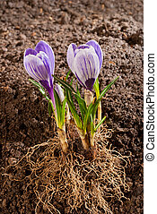 planting of violet crocus in the springtime
